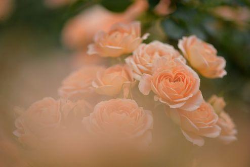 Обои Оранжевые розы в дымке, by naruo0720