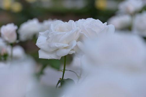 Обои Белые розы, by naruo0720