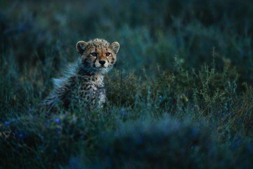 Обои Детеныш леопарда в траве, фотограф Chris Schmid