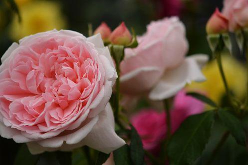 Обои Розовые розы с бутонами, by naruo0720