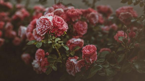 Обои Куст красивых роз в парке