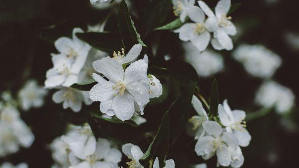 Обои Белые цветочки в каплях воды, крупный план
