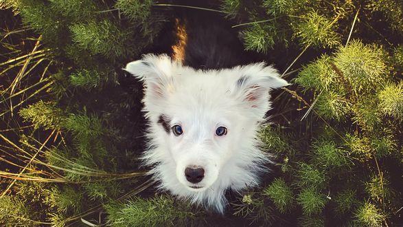 Обои Милый щенок на фоне еловых ветвей