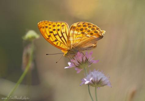 Обои Бабочка сидит на цветке, by TimBrook