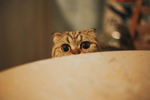 Обои Кот выглядывает из-за стола, фотограф Taya Iv