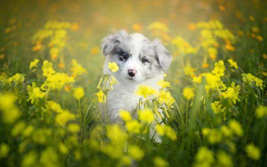 Обои Щенок бордер-колли сидит в поле среди желтых цветов
