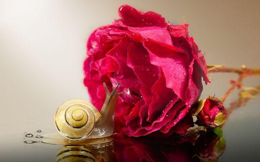 Обои Улитка ползет по отражающейся поверхности к розовой розе в капельках воды