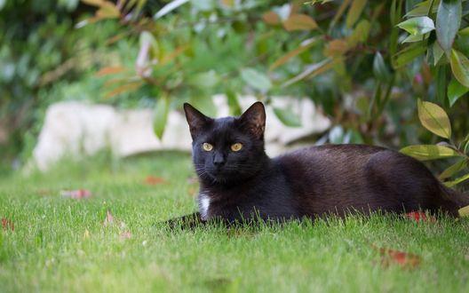 Обои Черный кот возлежит на траве на размытом фоне