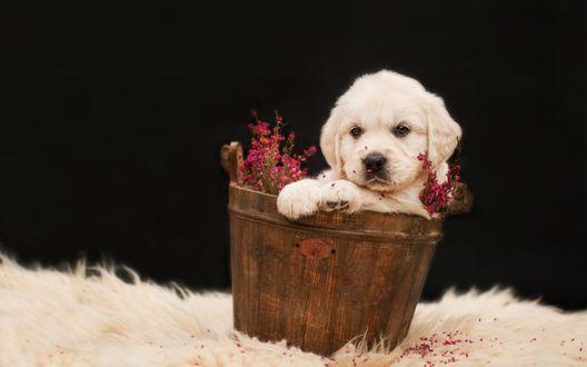 Обои Белый щенок золотистого ретривера в деревянной корзинке с цветами