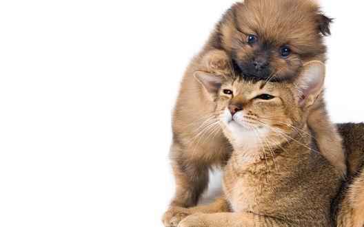 Обои Маленький пушистый щенок овчарки грызет за уши короткошерстого кота, играясь