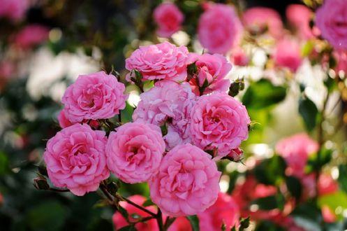 Обои Розовые розы на размытом фоне, by naruo0720