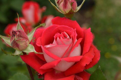 Обои Красная роза и бутоны, by naruo0720