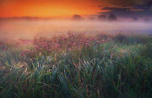 Обои Туманное утро на цветочном поле. Фотограф Pawel Uchorczak