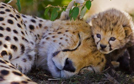 Обои Самка гепарда спит, а рядом примостился ее детеныш