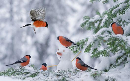 Обои Снегири на заснеженной ели, размытый фон