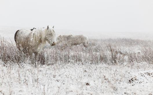 Обои Кони на заснеженном поле