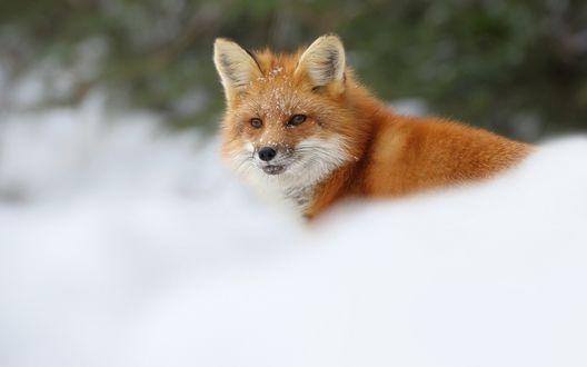 Обои Лисица в снегу, размытый фон