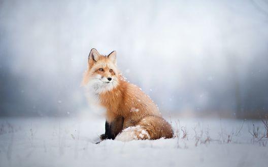 Обои Лиса сидит на снегу, размытый фон