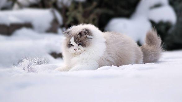 Обои Пушистая кошка играет на снегу