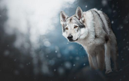 Обои Волчья собака Сарлоса под падающим снегом