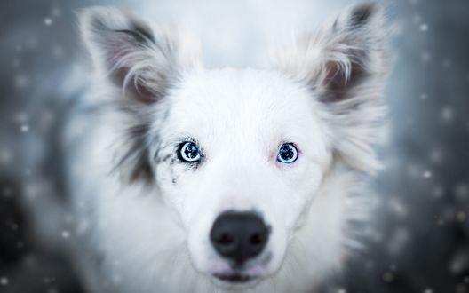 Обои Собака породы Аусси под падающим снегом