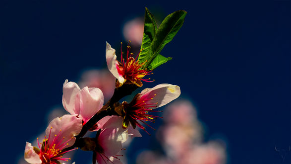 Обои Весенняя цветущая веточка, by vw1956