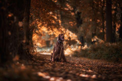 Обои Собака сидит на осенней дорожке, фотограф Fred Just