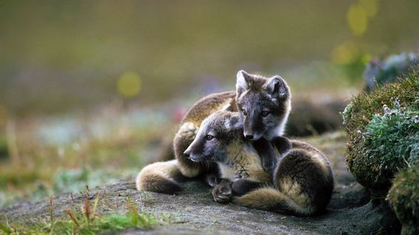 Обои Два волчонка лежат на дорожке