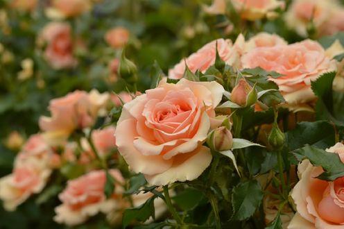 Обои Нежно розовые розы, by naruo0720