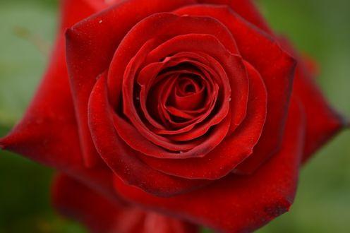 Обои Красная роза крупным планом, by naruo0720