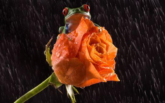 Обои Лягушка сидит на оранжевой розе под дождем