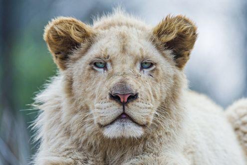 Обои Молодой лев на размытом фоне