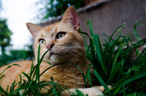 Обои Рыжий кот в траве