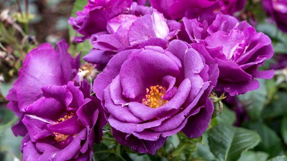Обои Цветущие сиреневые розы