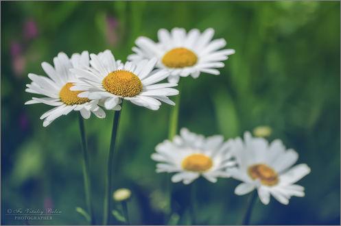 Обои Работа Чудесная пора, когда цветут ромашки, фотограф Optina