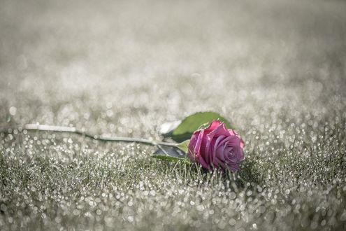 Обои Лежащая на мокрой траве роза, by Lee Glasby