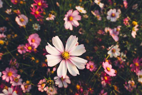 Обои Поляна с цветами космеи, фотограф Zhijun YE