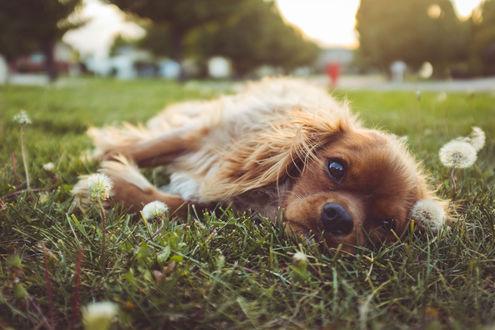 Обои Собачка лежит на траве