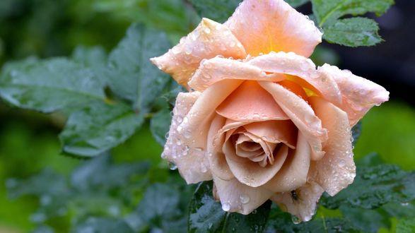 Обои Персиковая роза в каплях воды