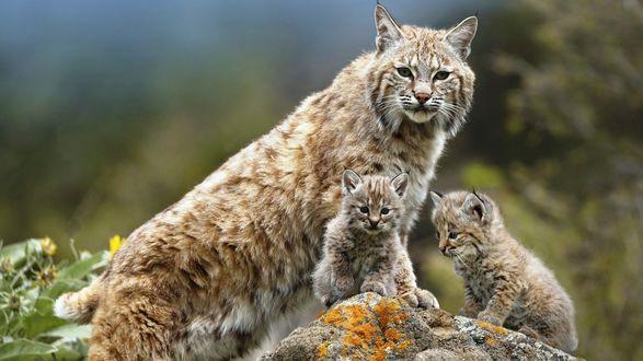Обои Мама рысь и ее детеныши на камне