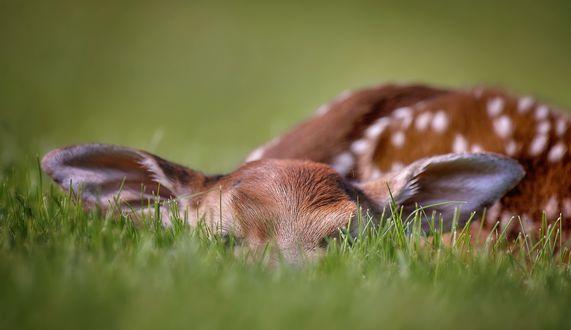 Обои Олененок лежит в траве