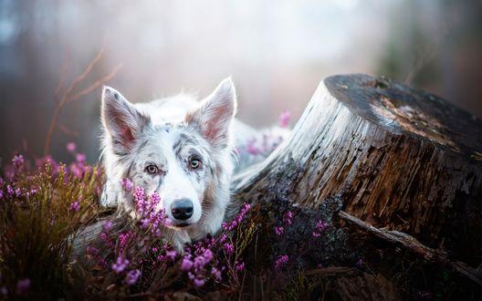 Обои Собака породы австралийская овчарка лежит в мелких розовых цветах у пня