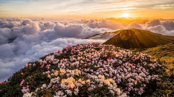 Обои Рассвет над горой перед цветущими рододендронами и небом с облаками