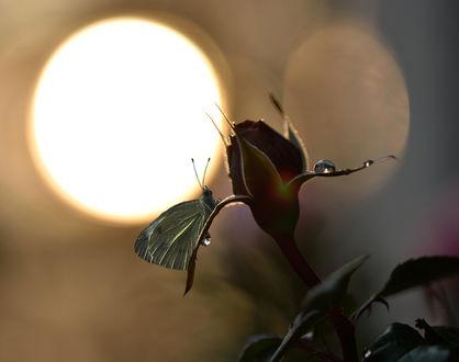 Обои Бутон розы с бабочкой на фоне солнца