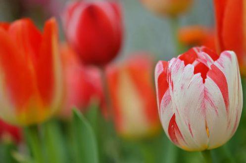 Обои Весенние тюльпаны, by naruo0720