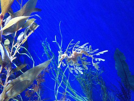 Обои Белый морской конек под водой