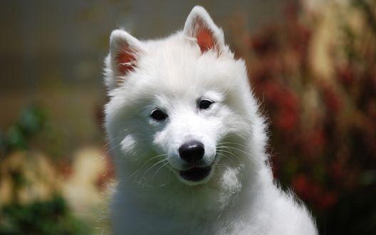 Обои Белый щенок на размытом фоне