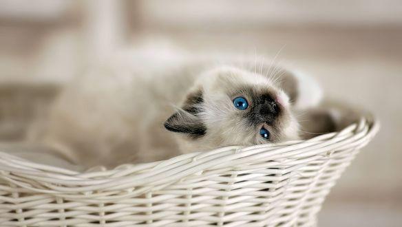 Обои Милый котик в корзине