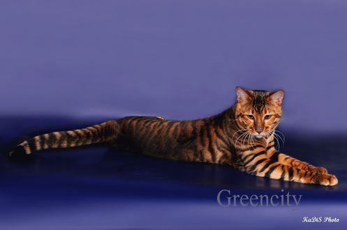 Обои Кошка породы тойгер на синем фоне
