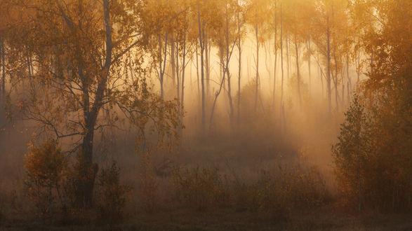 Обои Осенняя роща в золотистом тумане